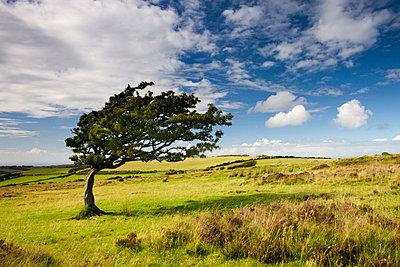 Windswept tree on moorland in Exmoor National Park, Somerset, England, United Kingdom, Europe - p8712972 by Adam Burton