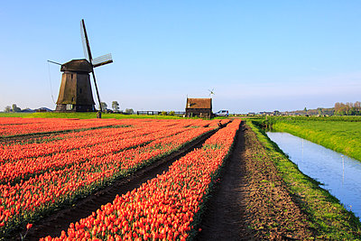Red tulip fields and blue sky frame the windmill in spring, Berkmeer, Koggenland, North Holland, Netherlands, Europe - p871m1135502f by Roberto Moiola