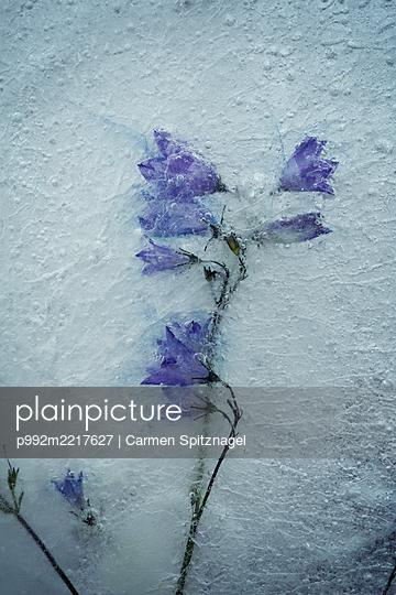 Blüten gefroren - p992m2217627 von Carmen Spitznagel