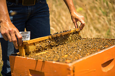 Midsection of beekeeper removing honeycomb frame at field - p1166m1508425 by Cavan Images