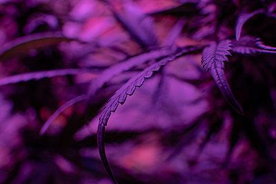 Closeup dried flowering tops of female cannabis plants. ë_-Caryo - p1166m2146361 by Cavan Images