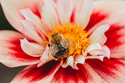 Close-up view of bee on pink, white and yellow dahlia flower - p1166m2146841 by Cavan Images