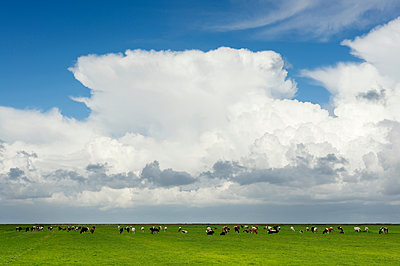Cows grazing in pasture, rain clouds overhead, Workum, Friesland, Netherlands, Europe - p429m1513643 by Mischa Keijser
