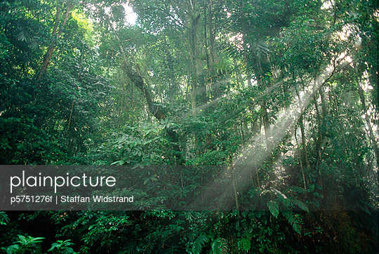Sunrays through the thick rainforest foliage Asa Wright Nature Centre Trinidad Trinidad and Tobago West Indies - p5751276f by Staffan Widstrand