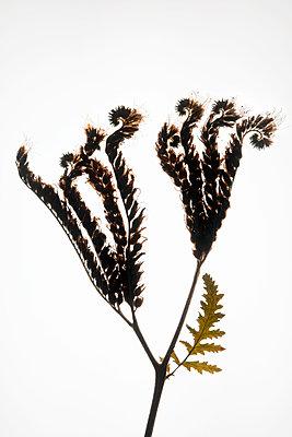 Lacy Scorpion-weed (Phacelia tanacetifolia) - p1028m2150009 von Jean Marmeisse
