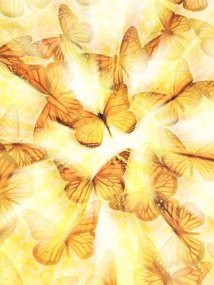 Swarm of Monarch Butterflies - p1154m2280941 by Tom Hogan