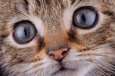 Face of tabby cat - p300m998526f by Mark Johnson
