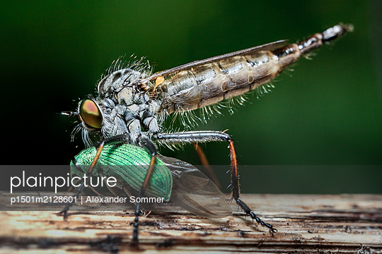 Common Awl Robberfly, Schleswig-Holstein, Germany - p1501m2128601 by Alexander Sommer