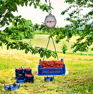 Cherry harvest - p1012m1168922 by Frank Krems
