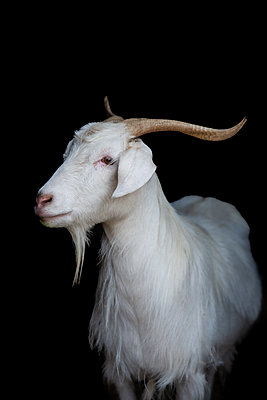 Cashmere goat looking sideways on black background - p1166m2205789 by Cavan Images
