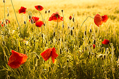 Germany, Bavaria, Poppies, Papaver rhoeas, in the morning light - p300m950308f by Christina Falkenberg