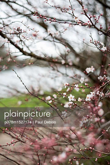 Cherry blossom in spring - p378m1527174 by Paul Debois