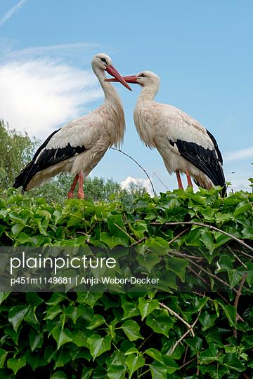 Storchenpaar im Storchennest - p451m1149681 von Anja Weber-Decker