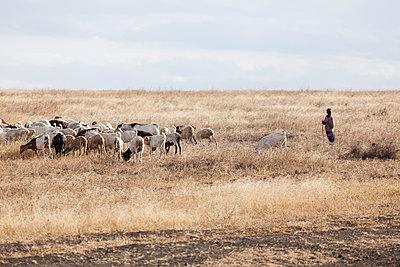 Schafherde in der Serengeti - p842m939642 von Renée Del Missier