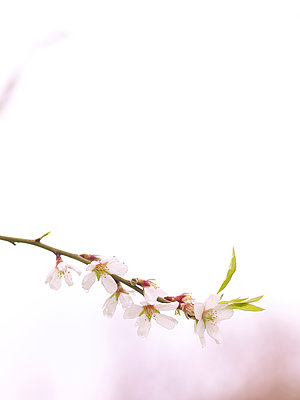 Almond flower - p885m1087435 by Oliver Brenneisen