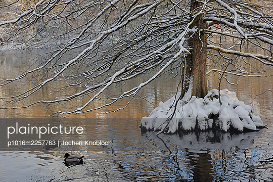 Bald cypress in winter - p1016m2257763 by Jochen Knobloch