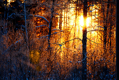 Forest and winter sun Norrbotten Sweden - p31222995f by Hakan Hjort