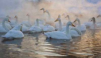 Whooper swans, Hokkaido, Japan - p1100m875534 by Art Wolfe