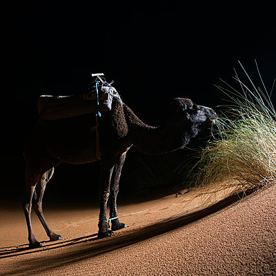 A dromedary in the desert at night Morocco - p312m1076631f by Roine Magnusson
