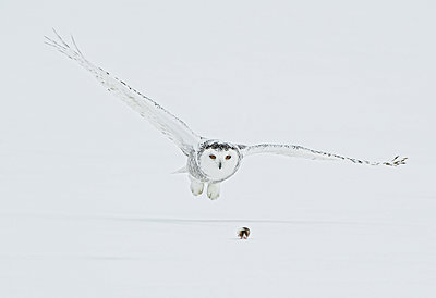 Female Snowy Owl Swoops Down To Catch A Lemming On Top Of The Snow, Saint-Barthelemy, Quebec, Canada, Winter - p442m2154117 by Bruce Lichtenberger