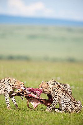 Three cheetahs - p533m1120361 by Böhm Monika