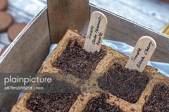 Tomato growing, seed trays - p879m2295218 by nico