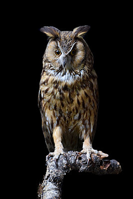 Taxidermy, Long-eared owl - p1235m2214800 by Karoliina Norontaus