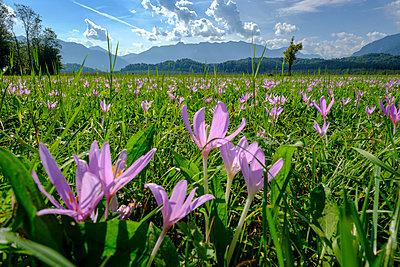 Germany, Bavaria, Murnauer Moos, Meadow saffron growing in the field - p300m2042700 by Lisa und Wilfried Bahnmüller