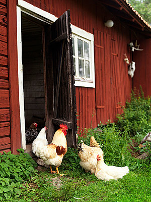 Chickens outside barn - p31227030f by Granefelt, Lena