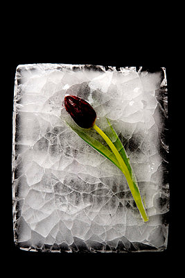 Tulip - p451m760597 by Anja Weber-Decker