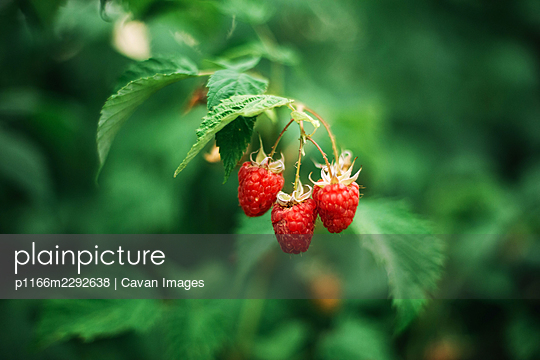 Red raspberry on the vine. - p1166m2292638 by Cavan Images