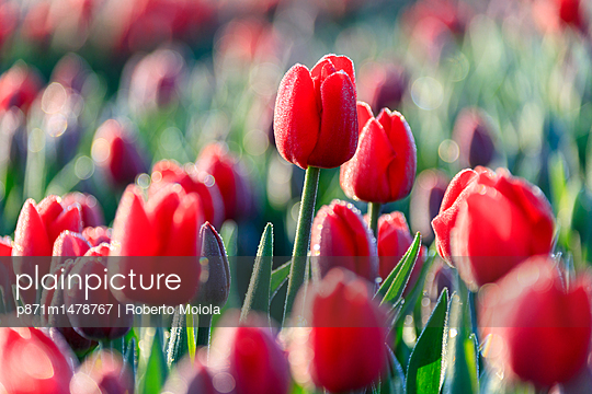 Close up of red tulips in bloom in the countryside of Berkmeer, municipality of Koggenland, North Holland, The Netherlands, Europe