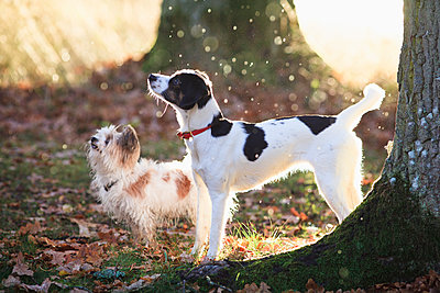 Dogs standing by trees in forest during sunny day - p301m1534943 by Isabella Ståhl