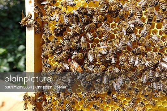 Bienenstock: Bienenkönigin - p061m2015364 von Christoph Ebener