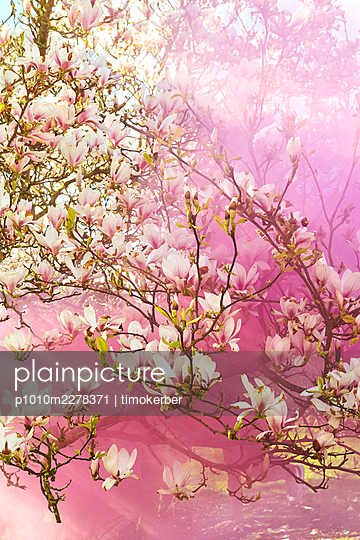 Magnolia  - p1010m2278371 by timokerber