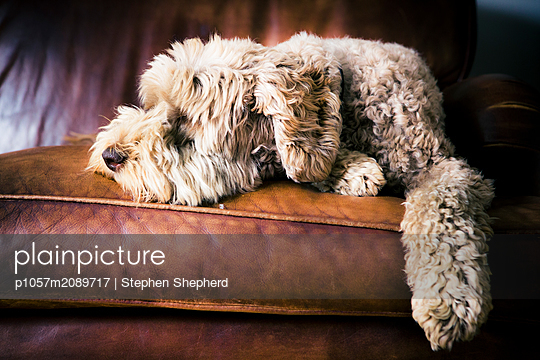 A large fluffy dog asleep on a leather sofa - p1057m2089717 by Stephen Shepherd