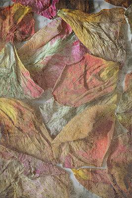Getrocknete Rosenblätter - p4500296 von Hanka Steidle