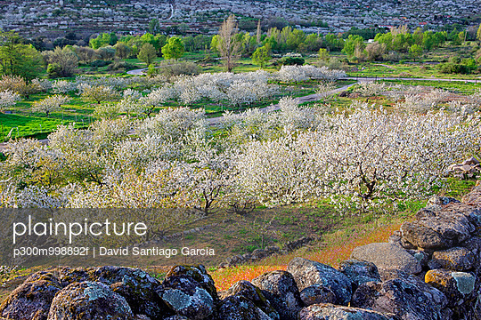 Spain, Extremadura, Valle del Jerte, Valley with blooming cherry trees - p300m998892f by David Santiago Garcia