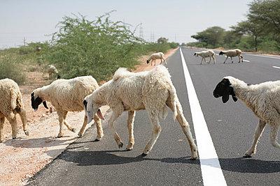 Schafherde überquert eine Straße - p596m1222180 von Ariane Galateau