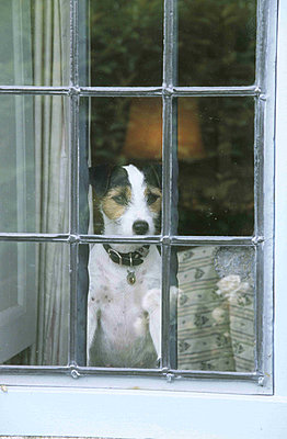 Jack Russell looking out of a - p349m790465 by Polly Eltes
