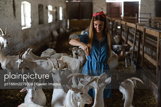 the girl feeds a lot of goats from her hands - p1166m2279309 by Cavan Images