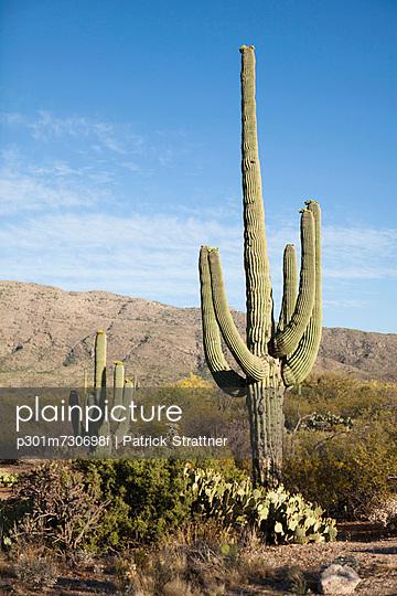 Cactuses in a desert, Tucson, Arizona, USA - p301m730698f by Patrick Strattner