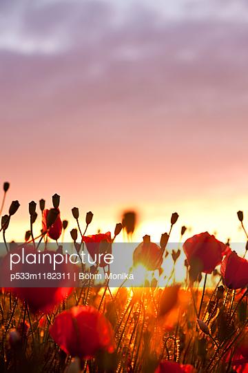 Mohnblumen im Sonnenuntergang - p533m1182311 von Böhm Monika