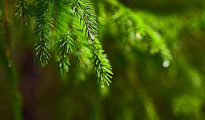 Rain drops on pine tree - p1427m2135962 by Dermot Conlan