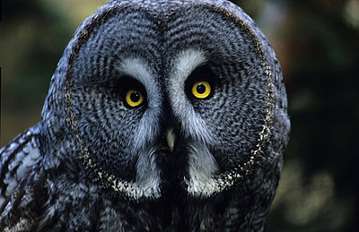 Portrait of great grey owl - Strix nebulosa staring at camera - p3488942 by Jorgen Larsson