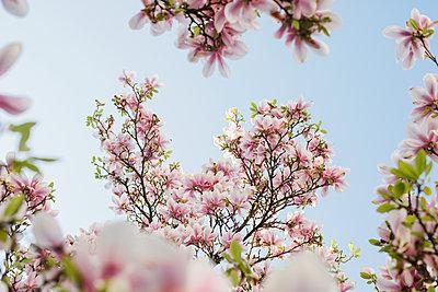 Blühender Magnolienbaum - p586m1068011 von Kniel Synnatzschke