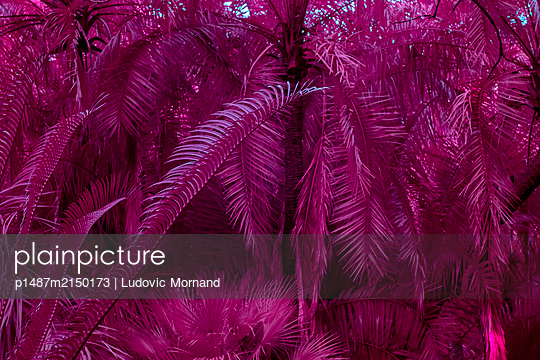 Infrared, Palm leaves - p1487m2150173 by Ludovic Mornand