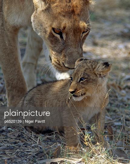 Lioness - p6520139 by Nigel Pavitt