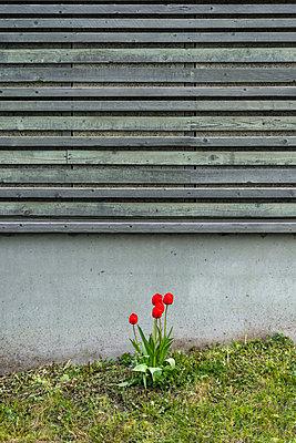 Rote Tulpen vor einer Wand - p1418m2184993 von Jan Håkan Dahlström