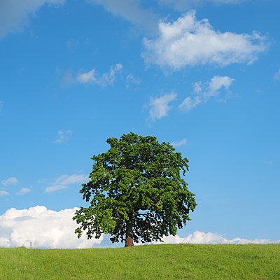 Single deciduous tree in a field - p338m2186100 by Marion Beckhäuser
